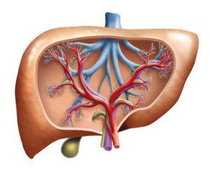 Blutgefäße in der Leber